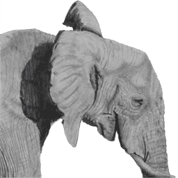 Pencil Sketch of Elephant