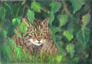 Scottish-Wildcat