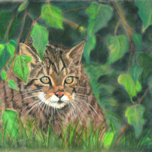 Scottish Wildcat – Who is That?