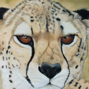Steady Gaze – Female Cheetah – Giclée Print
