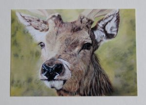 Red-Deer-Stag(PCard)