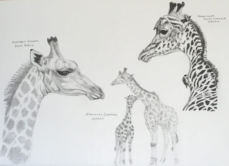 3 Species of Giraffe