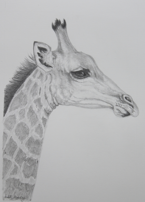 Young Southern African Giraffe